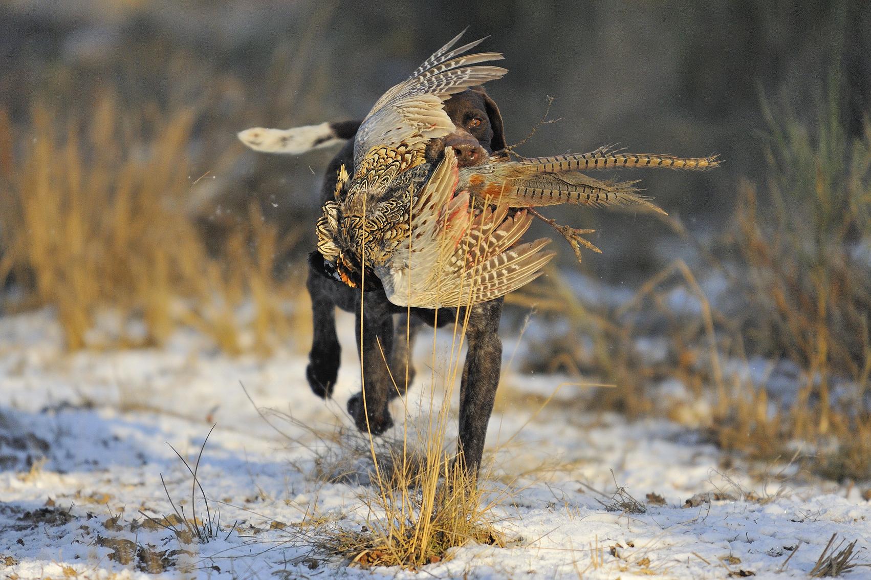 Chien ramenant un faisan au domaine de chasse de la maisonnette