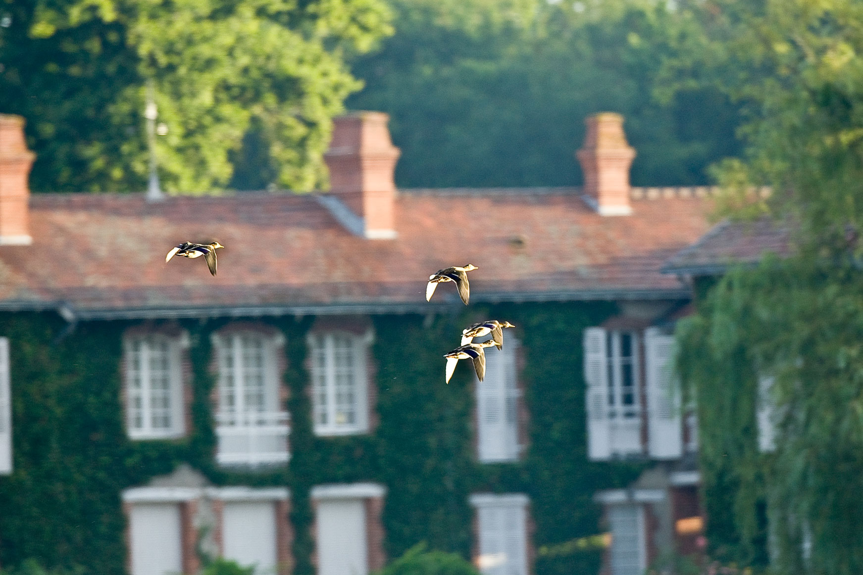 Envole de canards au dessus du domaine de La Maisonnette