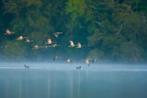 Envole de canards au dessus de l'étang du domaine de Chasse de la maisonnette