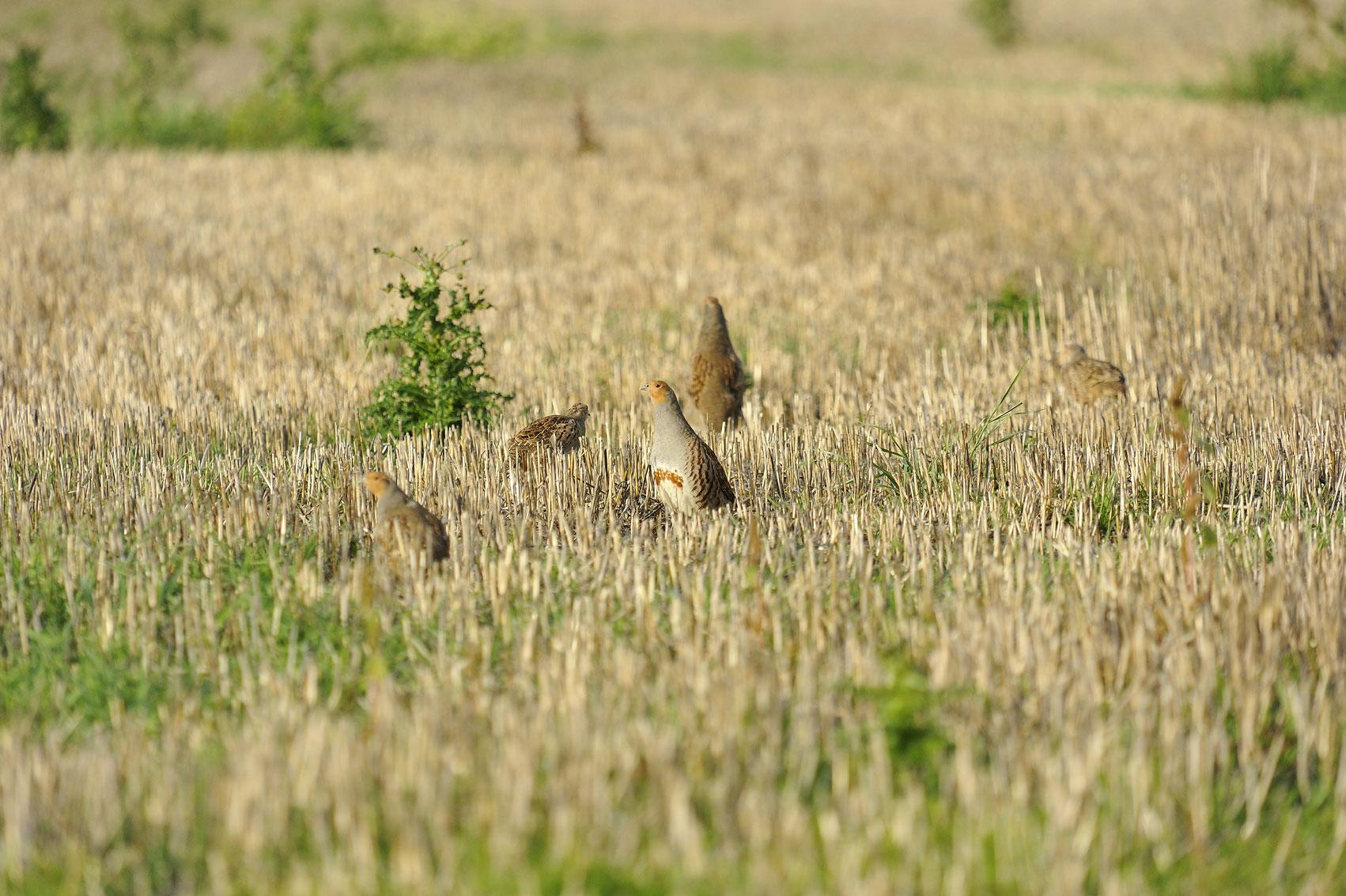 Perdreaux dans un champs au domaine de chasse de la maisonnette